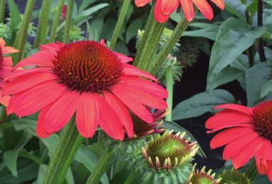 Echinacea SunSeekers Coral