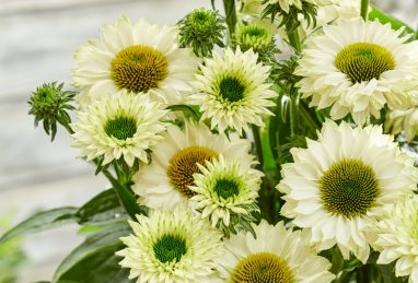 Echinacea SunSeekers White Perfection