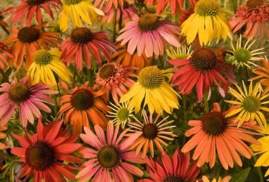 Echinacea – bunte Vielfalt