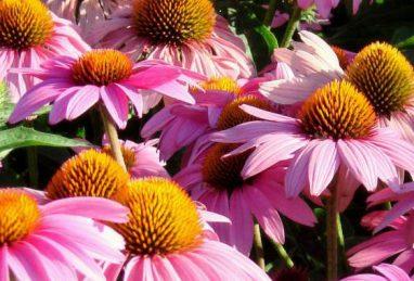 Echinacea purpurea Feeling Pink