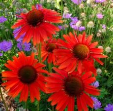 Roter Sonnenhut - Echinacea