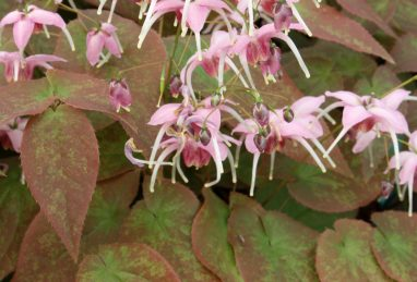 Epimedium Pretty in Pink