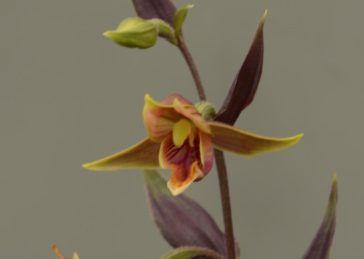 Epipactis gigantea Serpentine Night