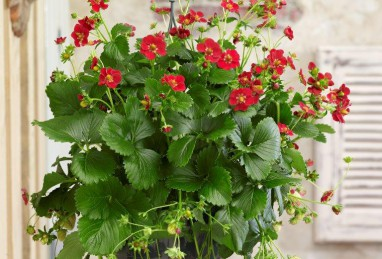 Fragaria x ananassa Ariba Red F1
