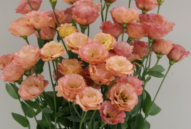 Eustoma Little Summer Orange