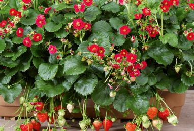 Fragaria x ananassa Summer Breeze Rose