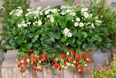 Fragaria x ananassa Summer Breeze Snow