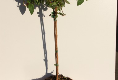 Fuchsia Stamm T24 RW