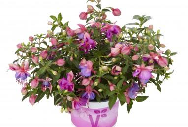 Fuchsia x hybrida Fuchsini Double Rose-Blue