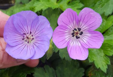 Geranium Rozanne vs. Bloom Time