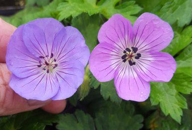 Geranium Rozanne vs. Bloom Time