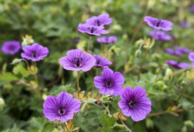 Geranium Daily Purple