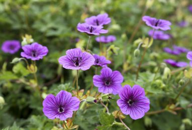 Geranium Daily Purple