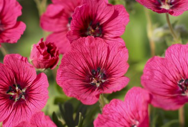 Geranium Jolly Jewel Raspberry