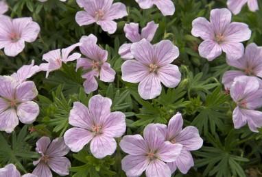Geranium x hybrida Pink Pouff