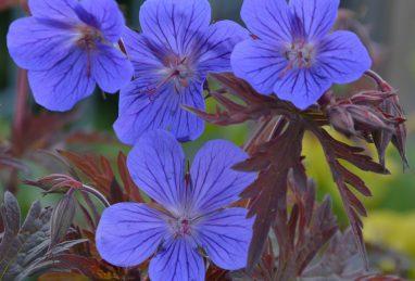 Geranium himalayense Kaya (Neelkaya)