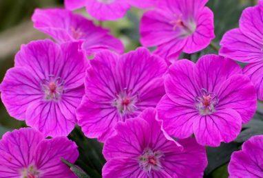 Geranium sang. Fruit d'Fleur