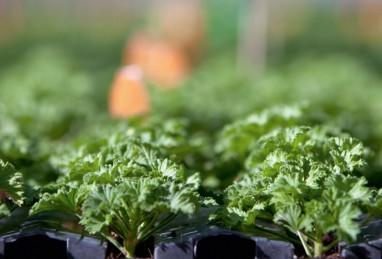 Pelargonien-Jungpflanzen im Targa-System