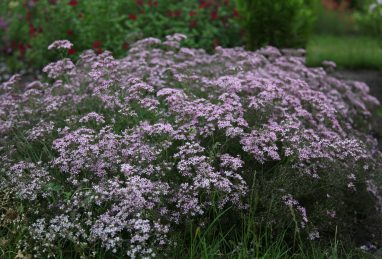 Gypsophila pan. Festival Pink Splash