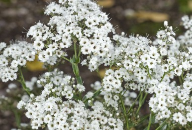 Gypsophila paniculata Festival Star
