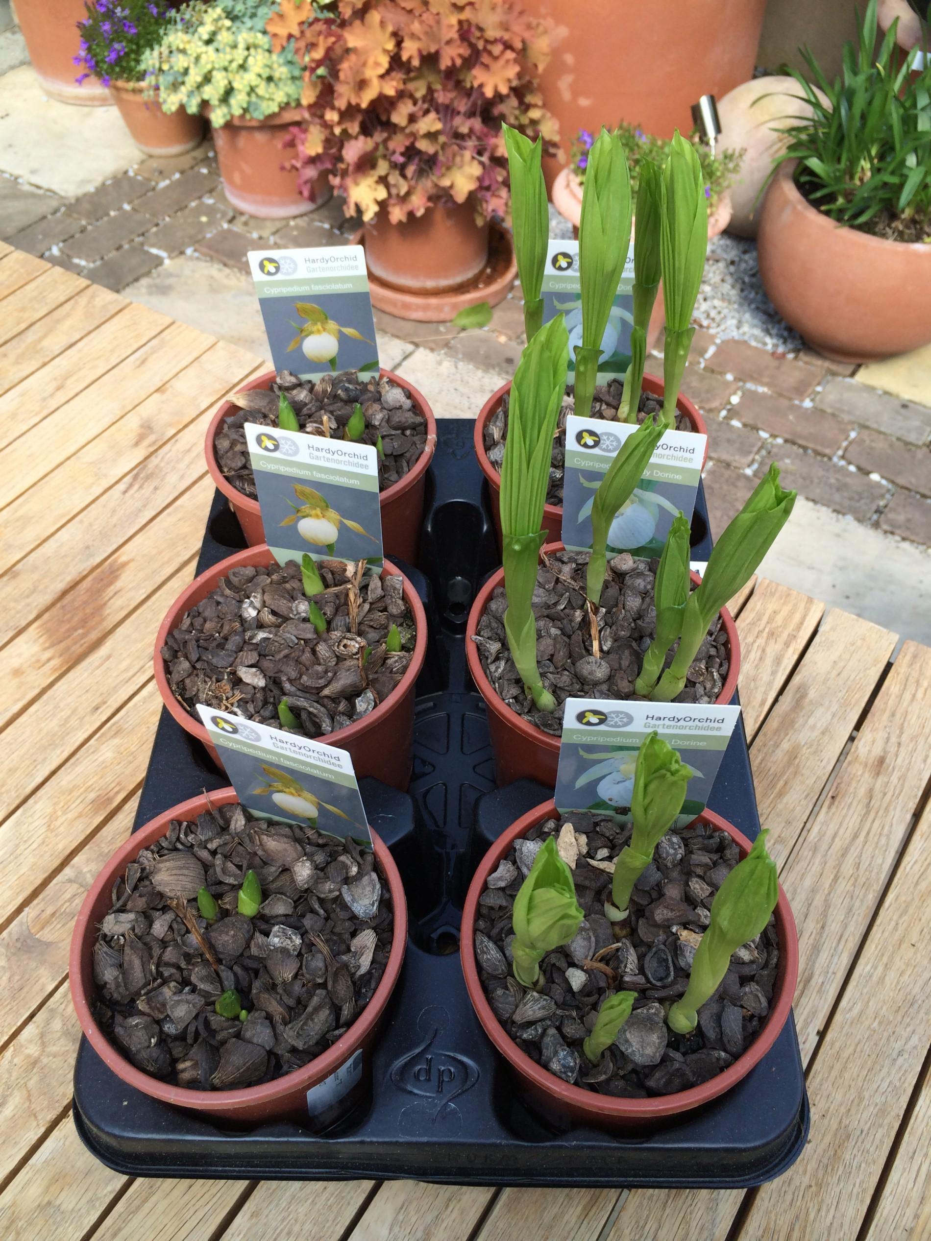 Gartenorchideen Hardyorchid