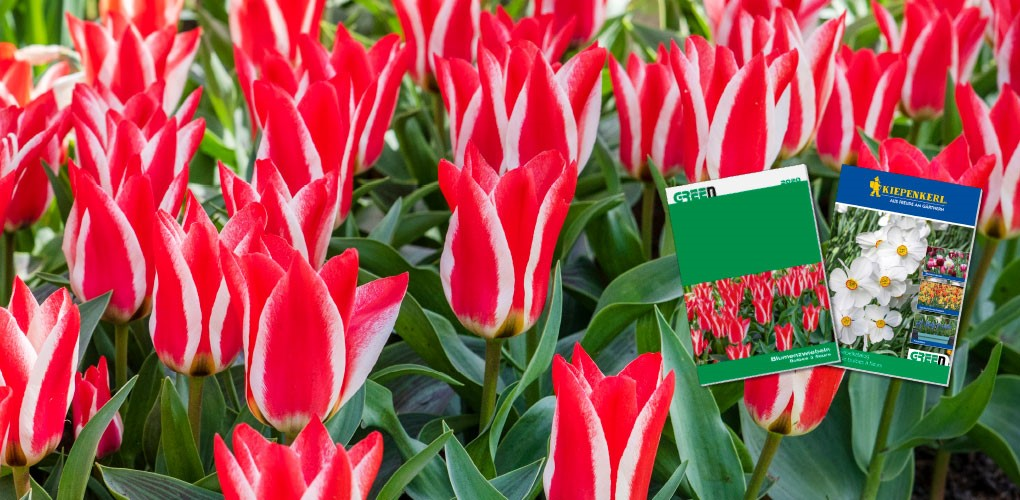 AKTUELL: Blumenzwiebeln-Katalog mit über 80 Seiten