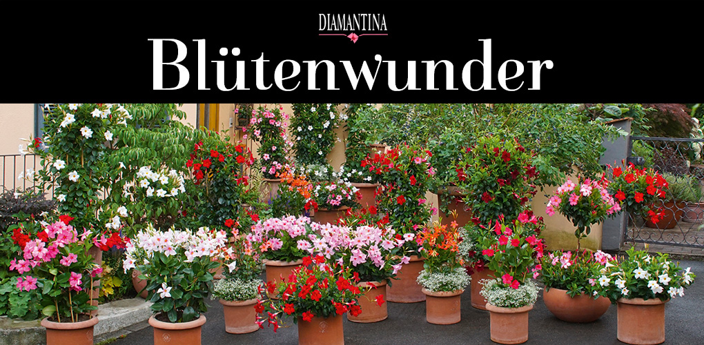 Blütenwunder Mandevilla: www.mandevilla.ch