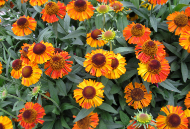 Helenium autumnale Short and Sassy