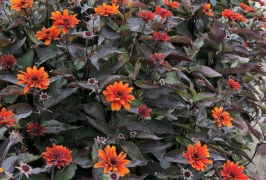 Heliopsis Fire Twister