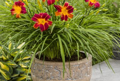Hemerocallis EveryDaylily™ Red Ribs