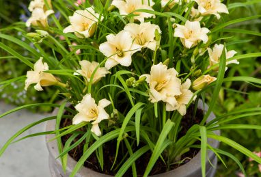 Hemerocallis EveryDaylily Cream
