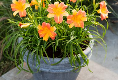 Hemerocallis EveryDaylily Punch Yellow