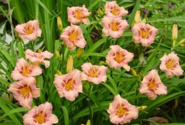 Hemerocallis Longfields Glory