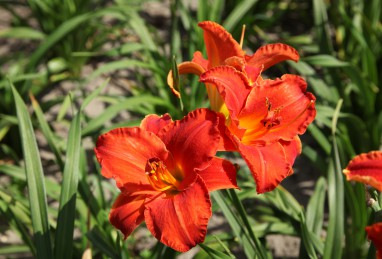 Hemerocallis Moses Fire