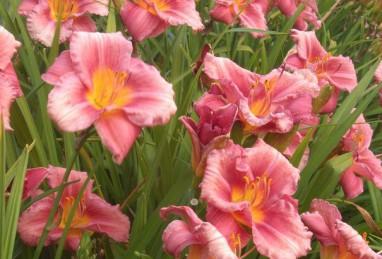 Hemerocallis Rosy Returns