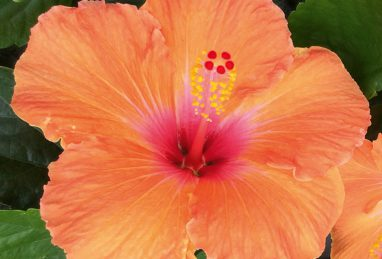 Hibiscus Rio Clara Orange