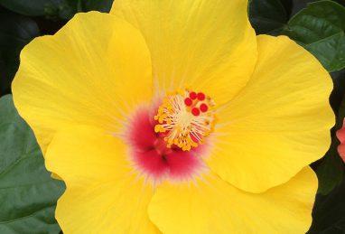 Hibiscus Rio Clara Yellow