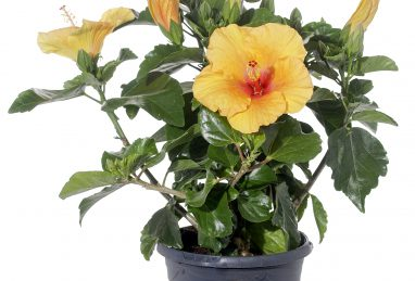 Hibiscus rosa-sinensis Rio Clara Orange T17