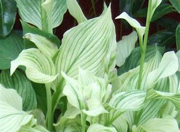 Hosta White Feather (im Sommer)