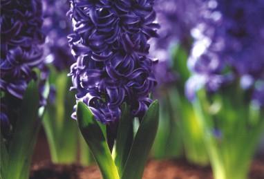 Hyazinthe Blue Pearl