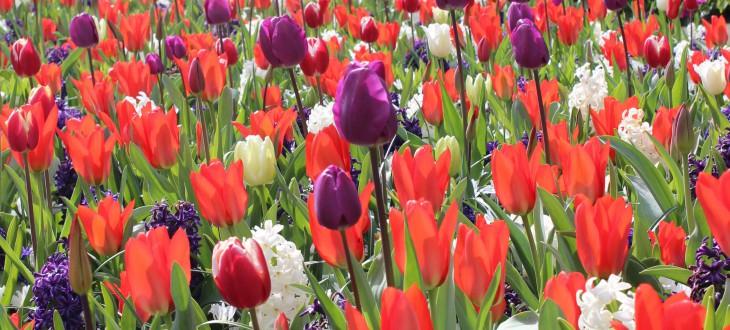 Produktkategorie: Blumenzwiebeln