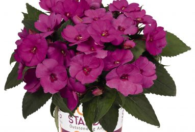 Impatiens NG SunStanding Lilac