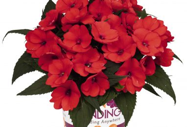 Impatiens NG SunStanding Orange