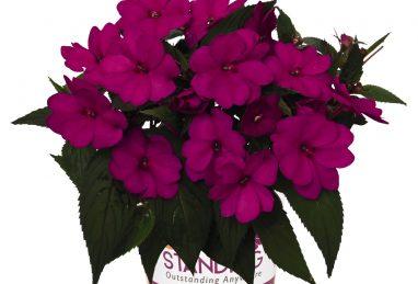 Impatiens NG SunStanding Purple