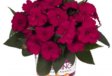 Impatiens NG SunStanding Ruby Red