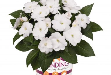 Impatiens NG SunStanding White