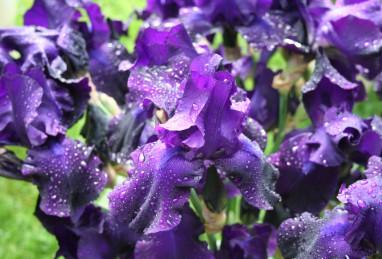 Iris germanica Matinata
