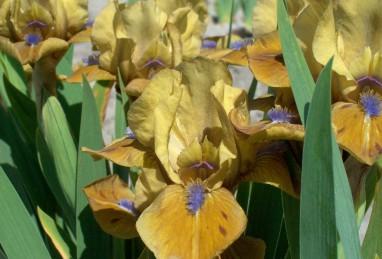 Iris pumila Prince