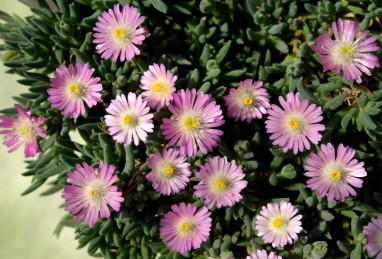 Delosperma Jewel of Desert Rosequartz