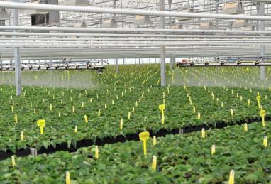 Poinsettien-Jungpflanzen im Targa-System